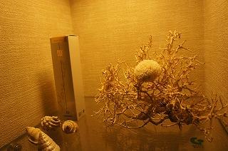 白砂サンゴ