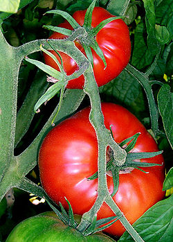 250px-Tomatoes-on-the-bush.jpg