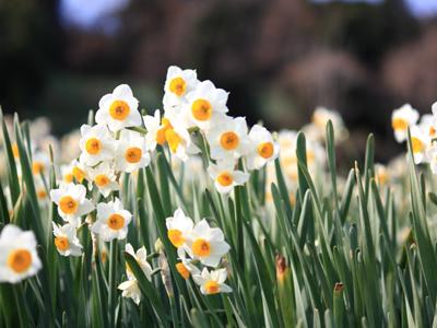 咲き誇る水仙