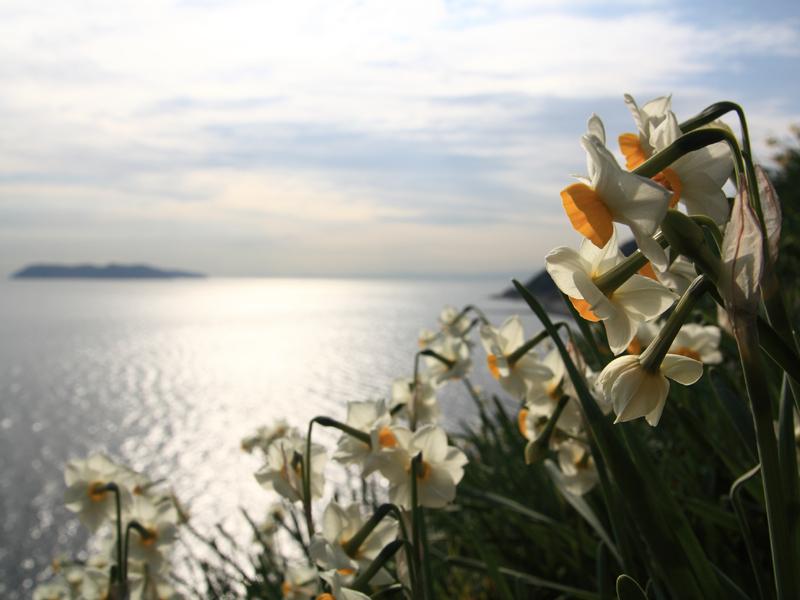 【冬の風物詩】 淡路島の水仙郷めぐり 2019