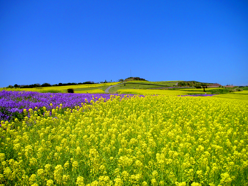 黄色い大パノラマ あわじ花さじきで「早春菜の花まつり」開催中!