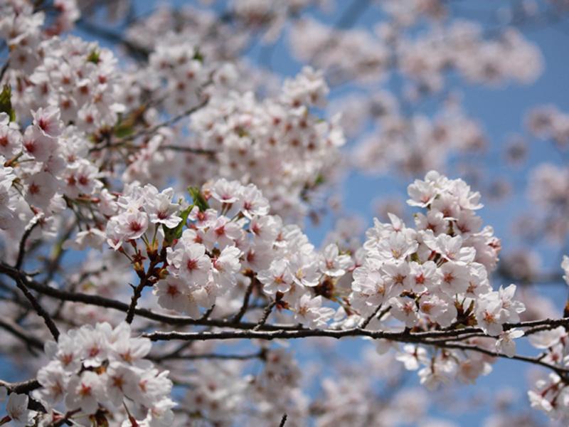 【お花見情報】この春訪れたい淡路島 桜の名所