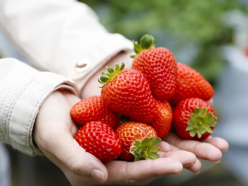 淡路島で完熟いちごの摘み取り体験はいかが?