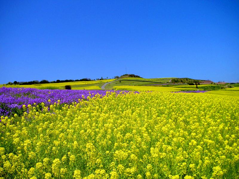黄色い大パノラマ あわじ花さじきで『早春菜の花まつり』開催中